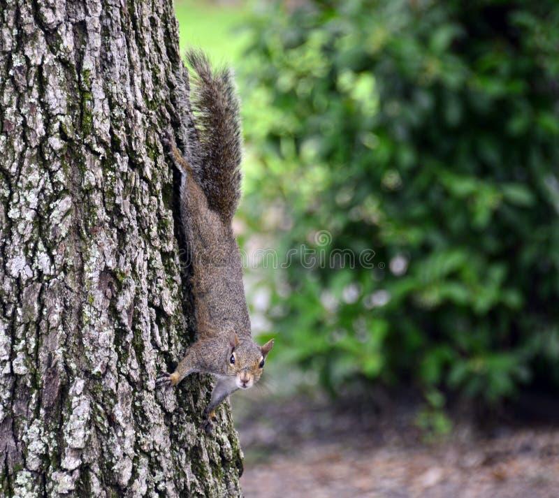 Wiewiórka na drzewnym bagażniku zdjęcie stock