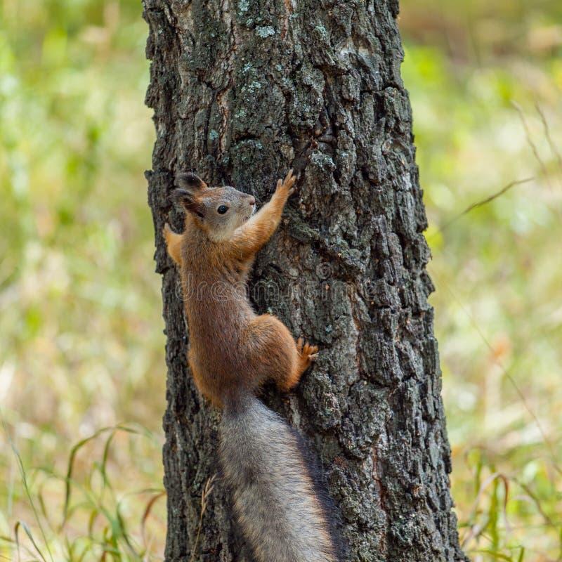 Wiewiórka na drzewnym bagażniku obraz royalty free