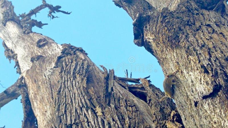 Wiewiórka na dużym drzewnym bagażniku zdjęcie royalty free