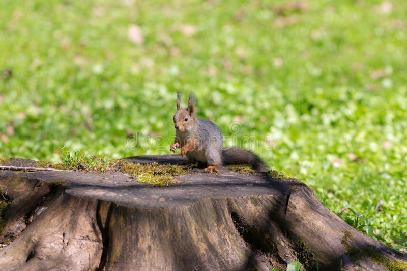 Wiewiórka na konopie fotografia stock