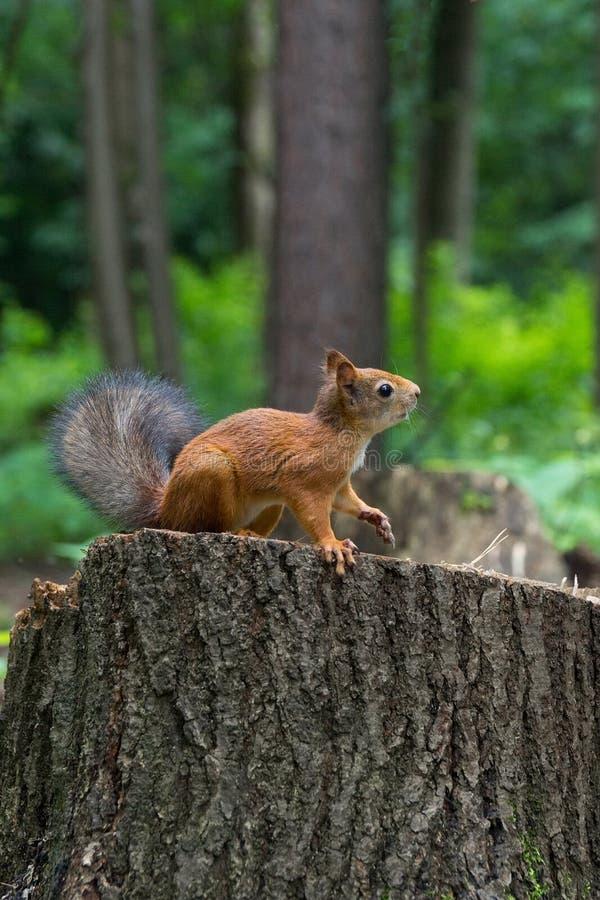 Wiewiórka na konopie z dokrętką obrazy stock