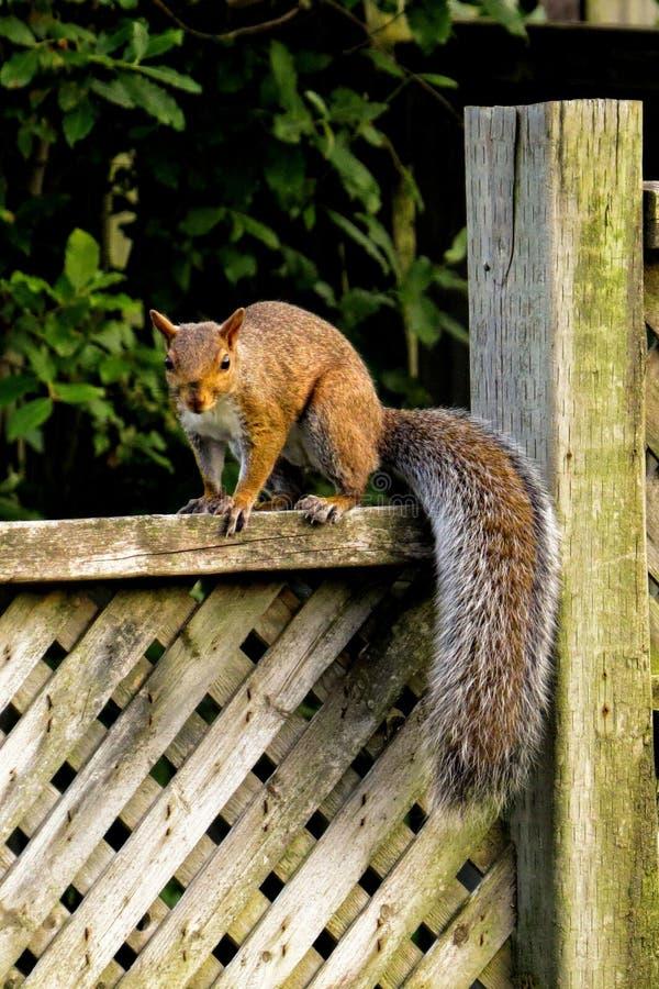 Wiewiórka na ogrodzeniu obraz stock