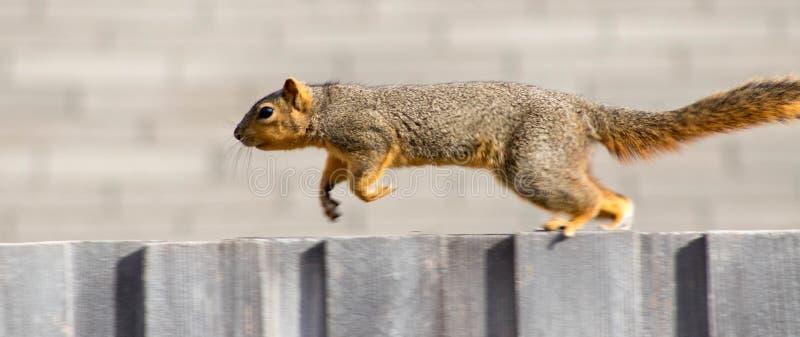Wiewiórka na ogrodzeniu, obraz stock