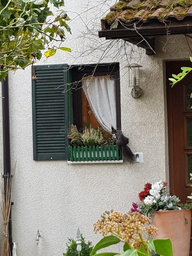 wiewiórka na okno fotografia stock