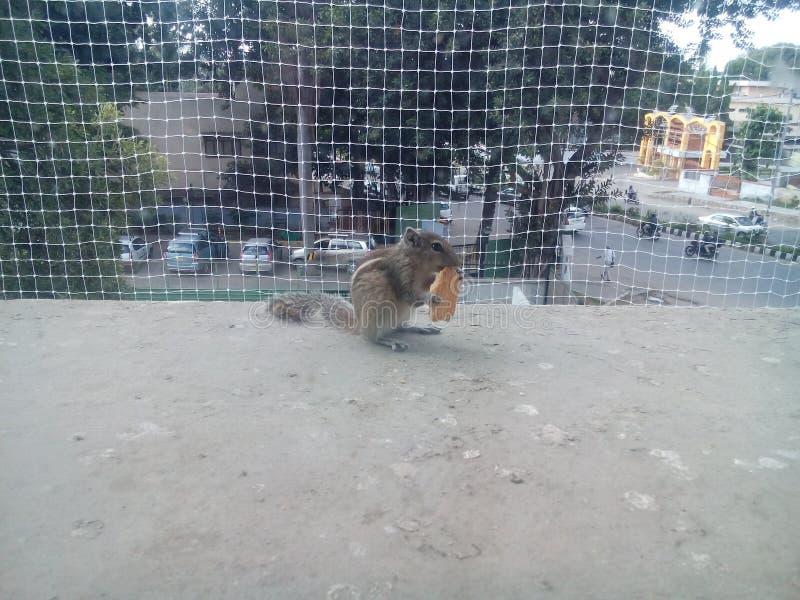 Wiewiórka na piętrze dla jedzenia obrazy royalty free
