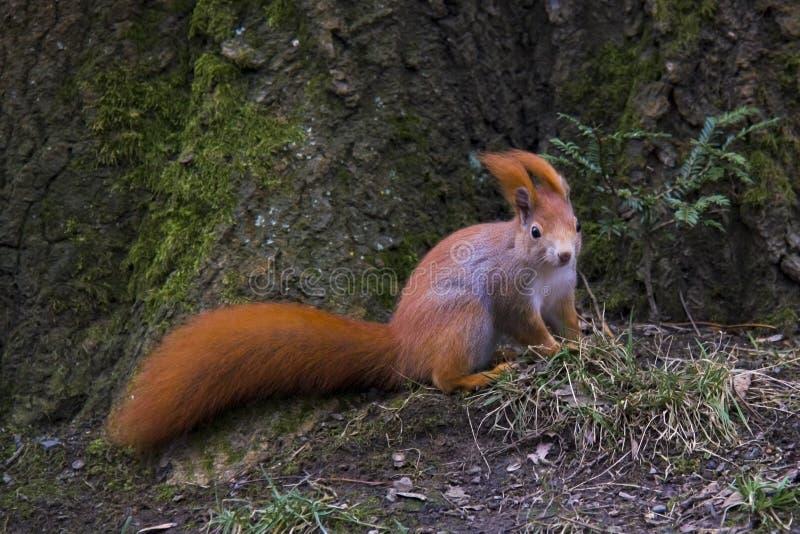 Wiewiórka na wietrznym dniu fotografia stock