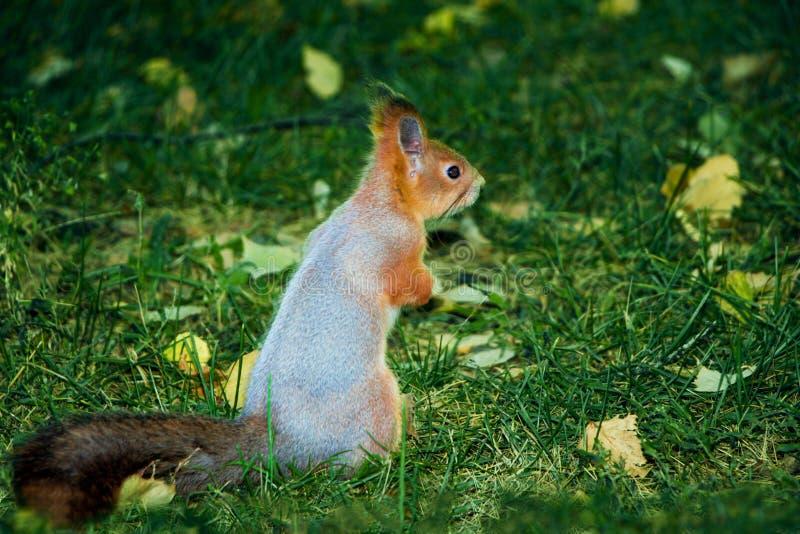 Wiewiórka na zielonej trawie zdjęcia royalty free