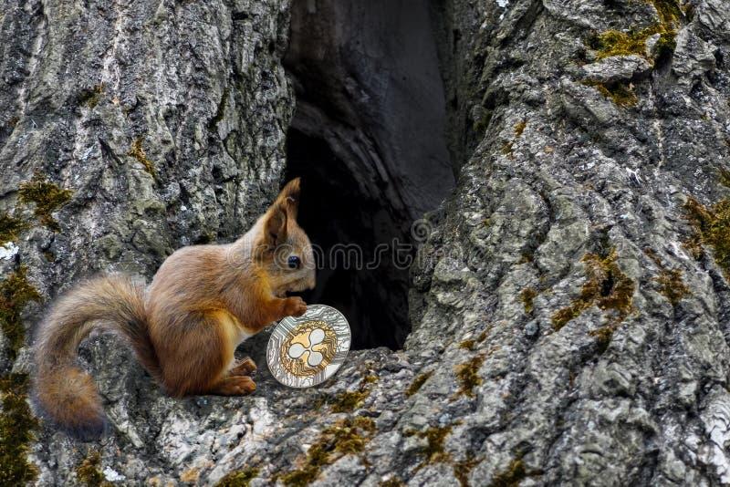 Wiewiórka niesie ukuwa nazwę czochrę fotografia royalty free