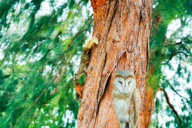 wiewiórka odór coś na gałęziastej sosny owlet pozyci obraz royalty free
