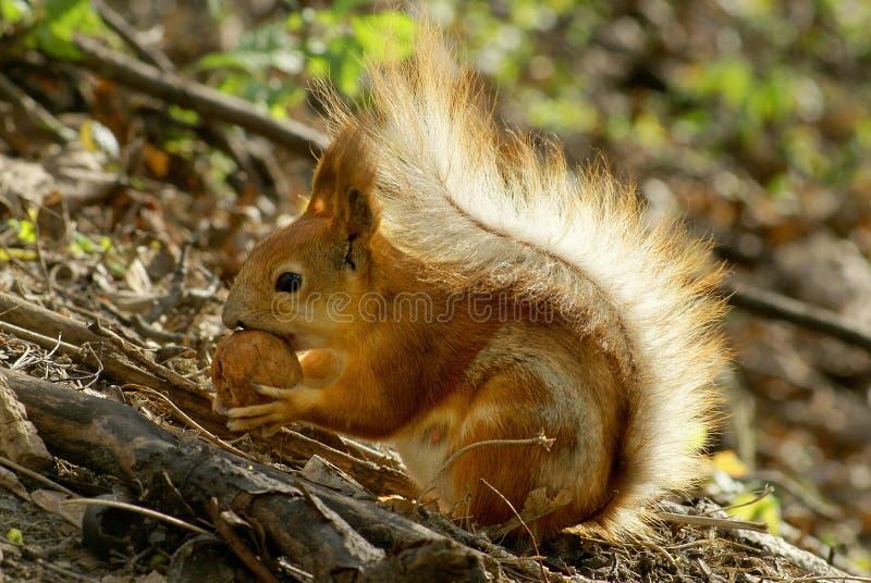 wiewiórka orzechy obrazy stock
