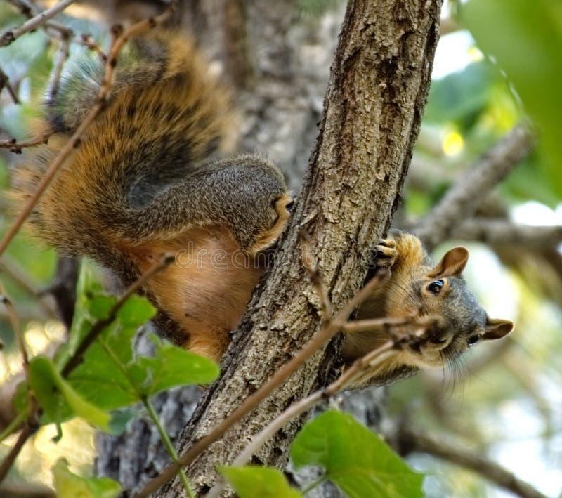 Wiewiórka patrzeje prostego puszek fotografia royalty free
