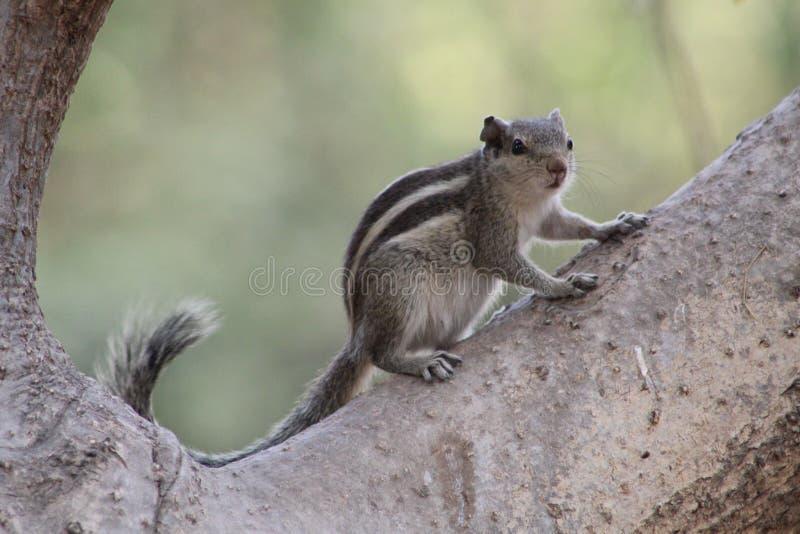 Wiewiórka pozuje na wzroscie z naturą przy swój najlepszy obrazy royalty free