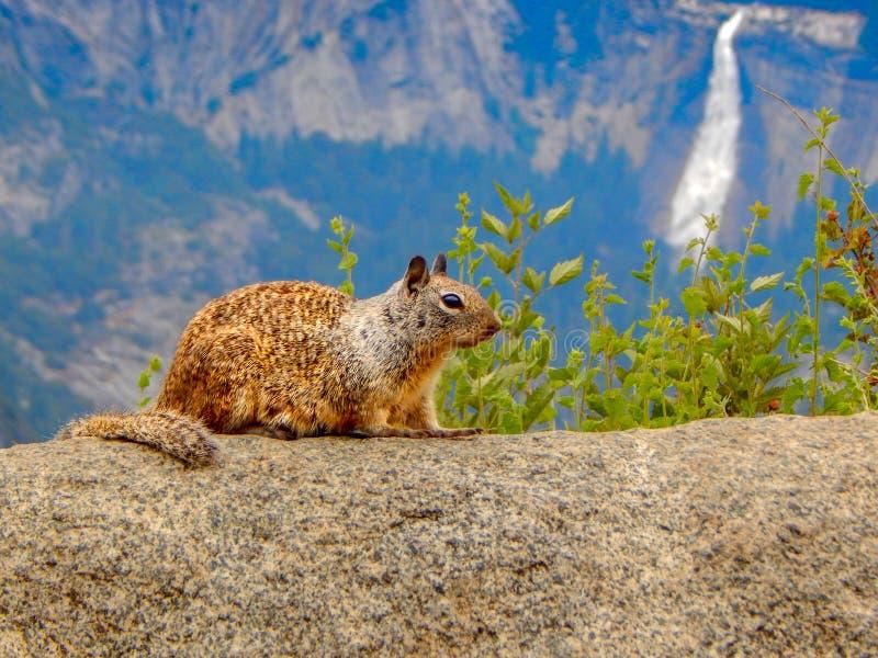 Wiewiórka Pozuje Z siklawy tłem fotografia royalty free