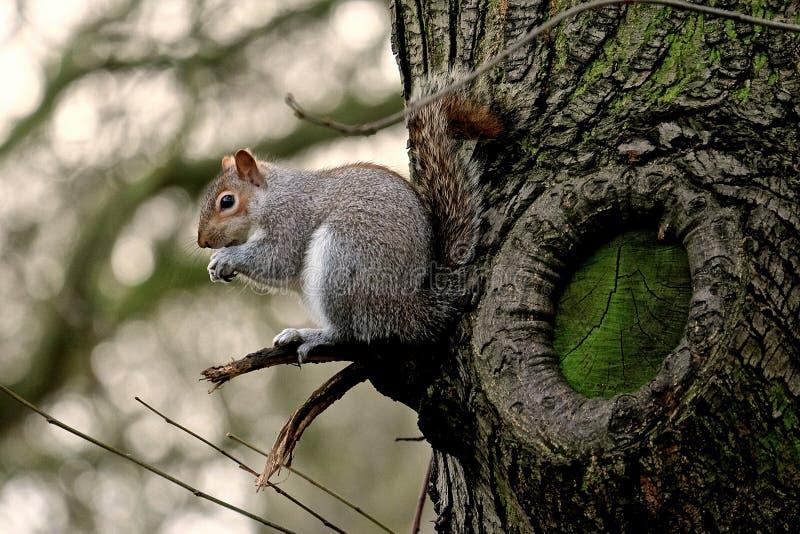 Wiewiórka przy Hyde parkiem zdjęcia royalty free