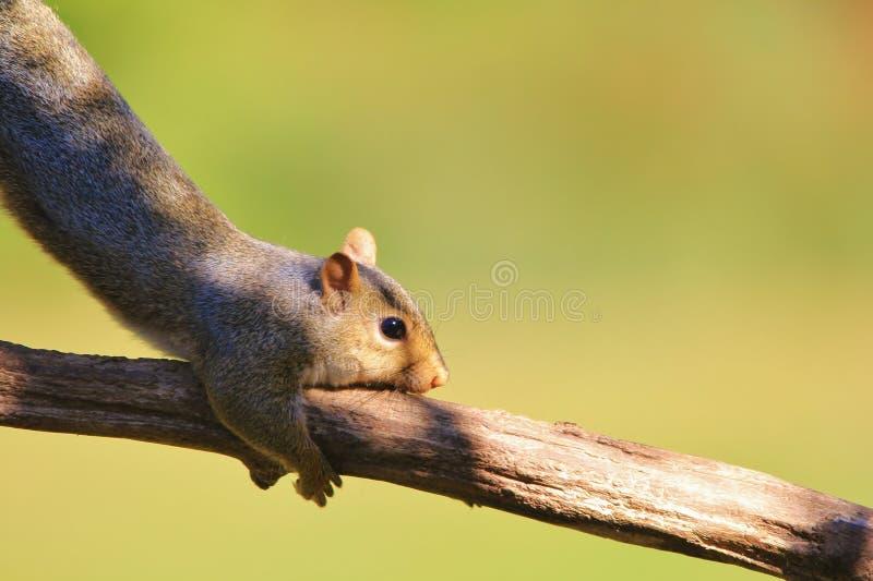 Wiewiórka - przyrody tło - Śmieszna natura obrazy royalty free