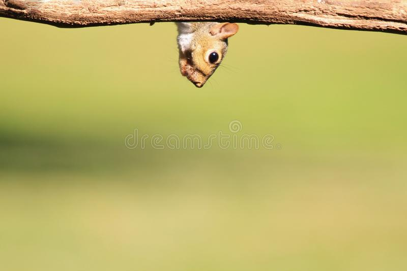 Wiewiórka - przyrody tło - humor w naturze zdjęcia royalty free