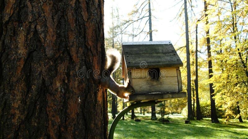 Wiewiórka puszek drzewo i je słonecznikowych ziarna na drewnianym dozowniku w parku zdjęcia royalty free