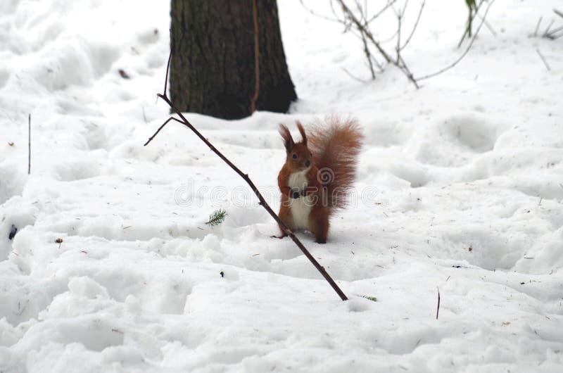 Wiewiórka pyta dla jedzenia zdjęcia royalty free