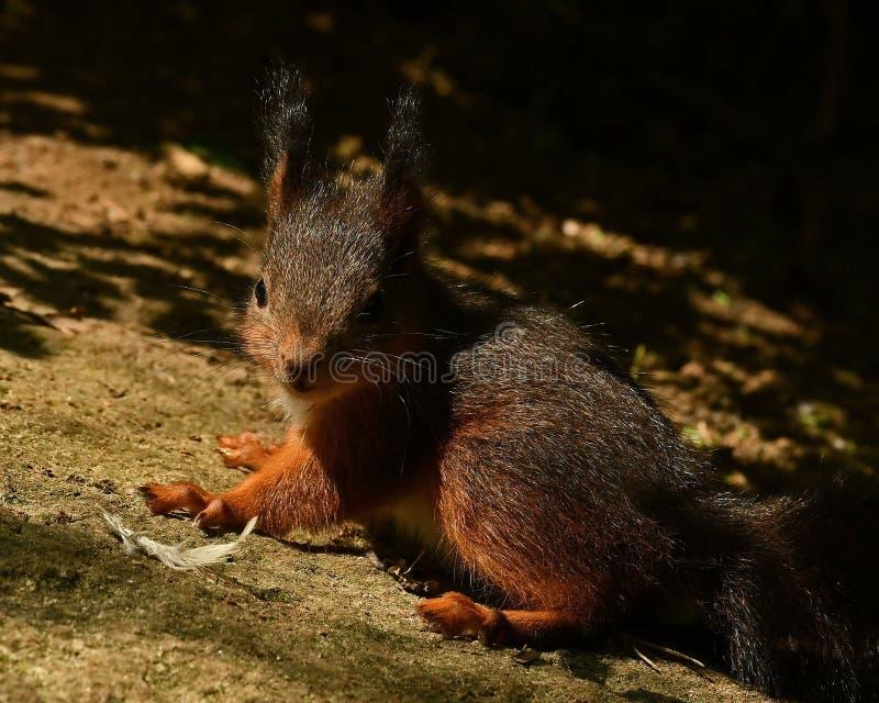 Wiewiórka, Sciurus vulgaris dziecko wewnątrz w górę zdjęcia royalty free