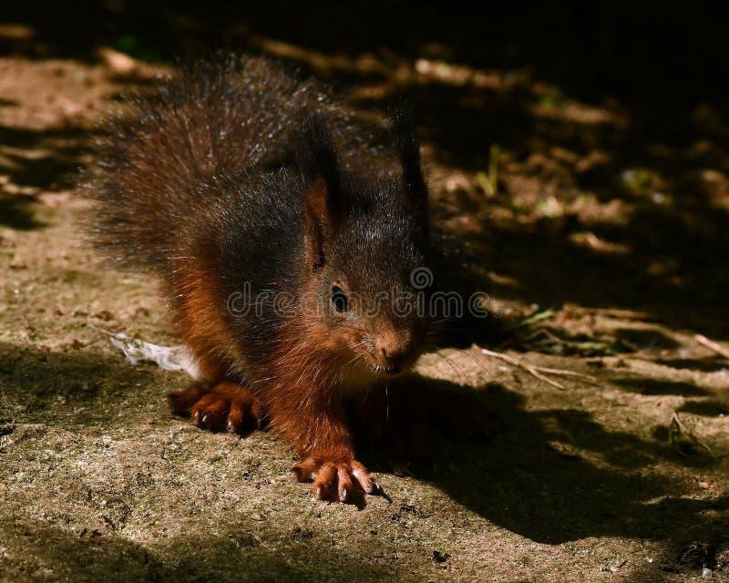 Wiewiórka, Sciurus vulgaris dziecko wewnątrz w górę fotografia stock