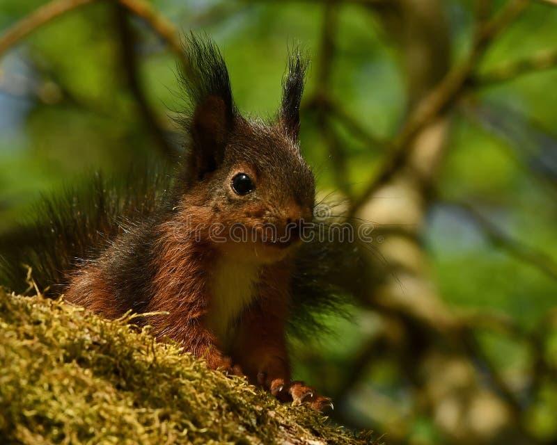 Wiewiórka, Sciurus vulgaris dziecko wewnątrz w górę obrazy stock