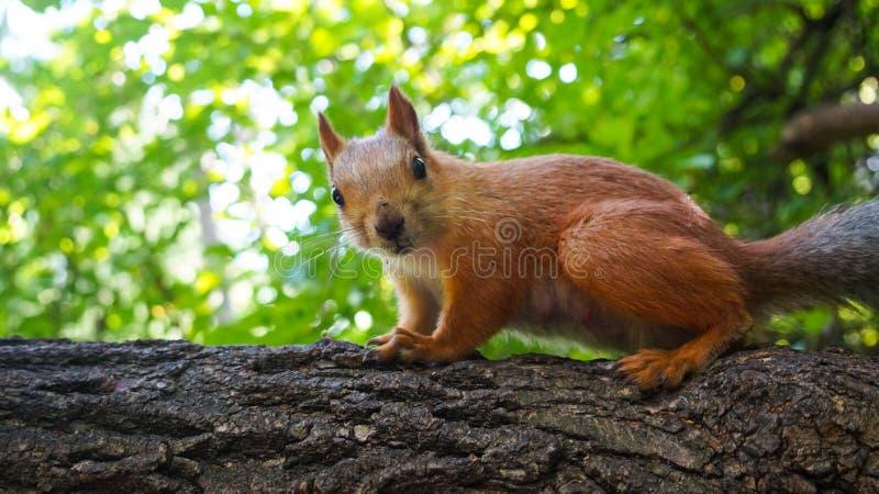 Wiewiórka siedzi na drzewie i spojrzeniach fotografia stock