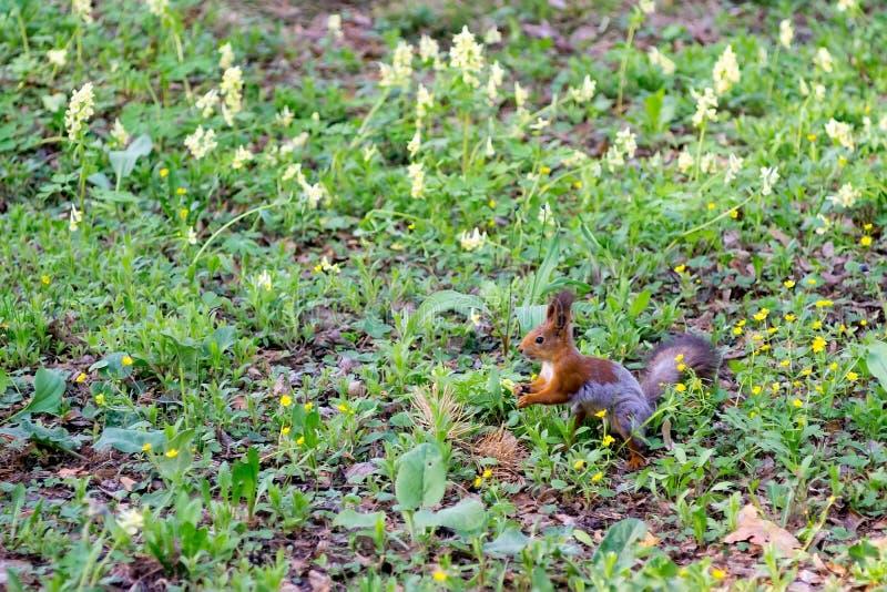Wiewiórka siedzi na zielonej wiosny trawie obrazy royalty free