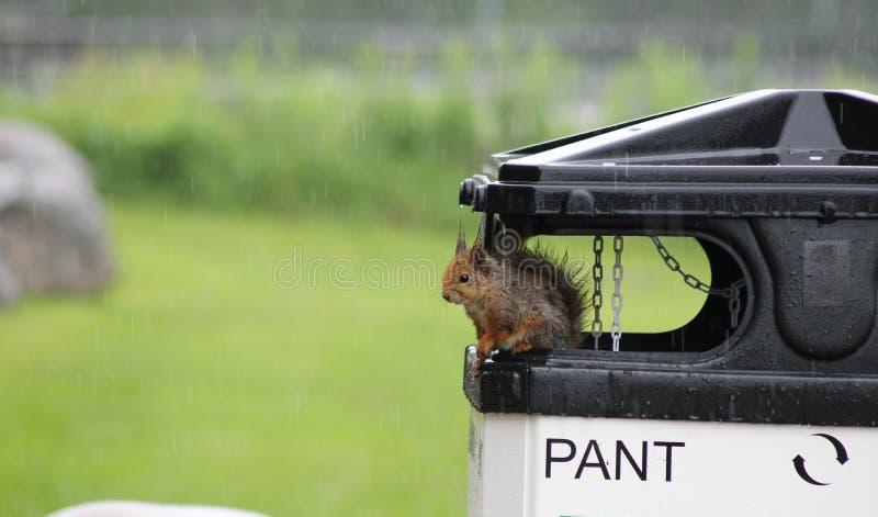 Wiewiórka w deszczu zdjęcie royalty free