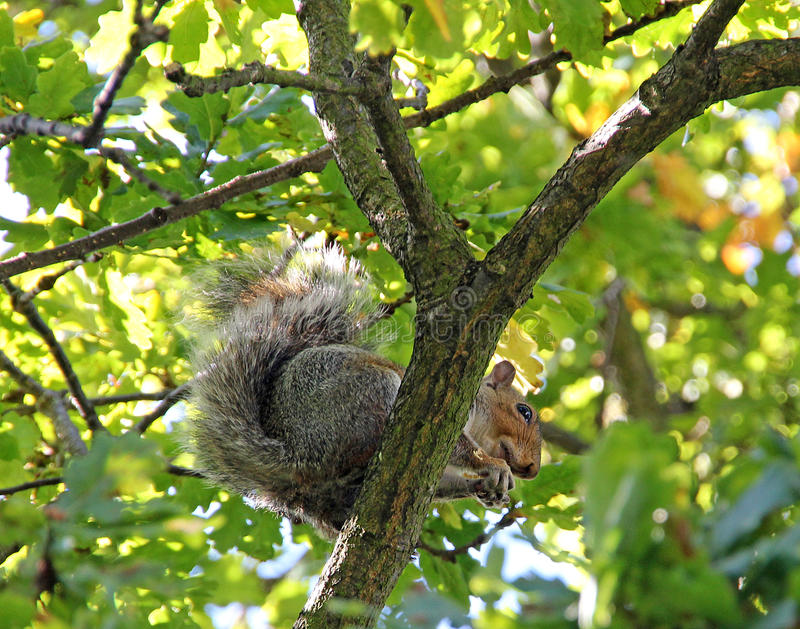 Wiewiórka w drzewie obraz royalty free
