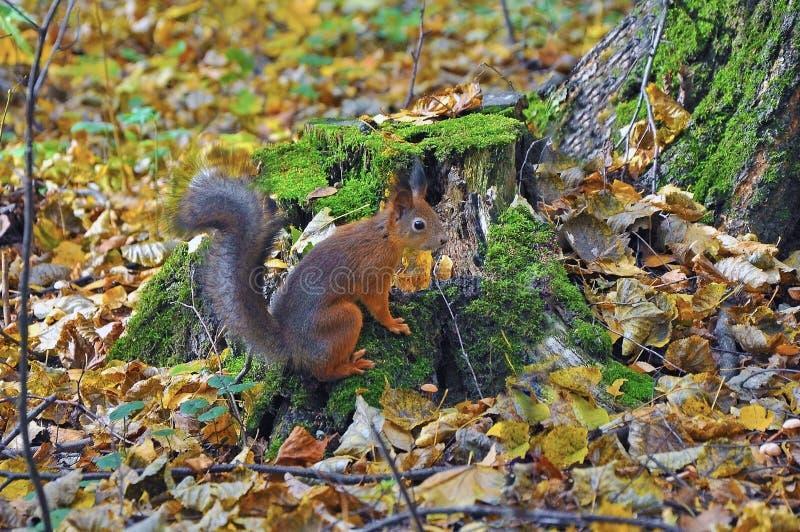 Wiewiórka w jesieni drewnie zdjęcia stock
