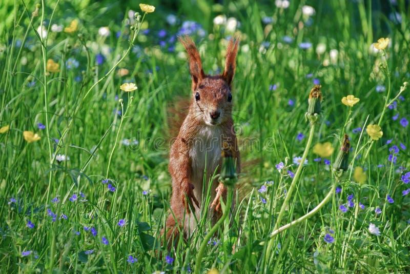 Wiewiórka w kwiatach obrazy royalty free
