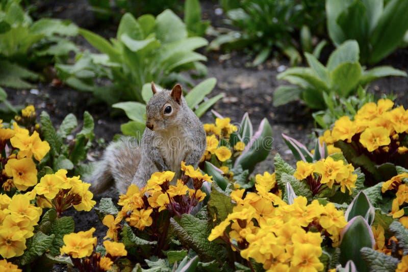 Wiewiórka w kwiatach fotografia stock