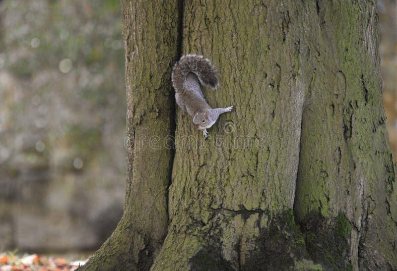 Wiewiórka w lesie fotografia royalty free
