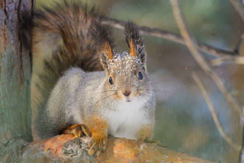 Wiewiórka w parku obrazy royalty free