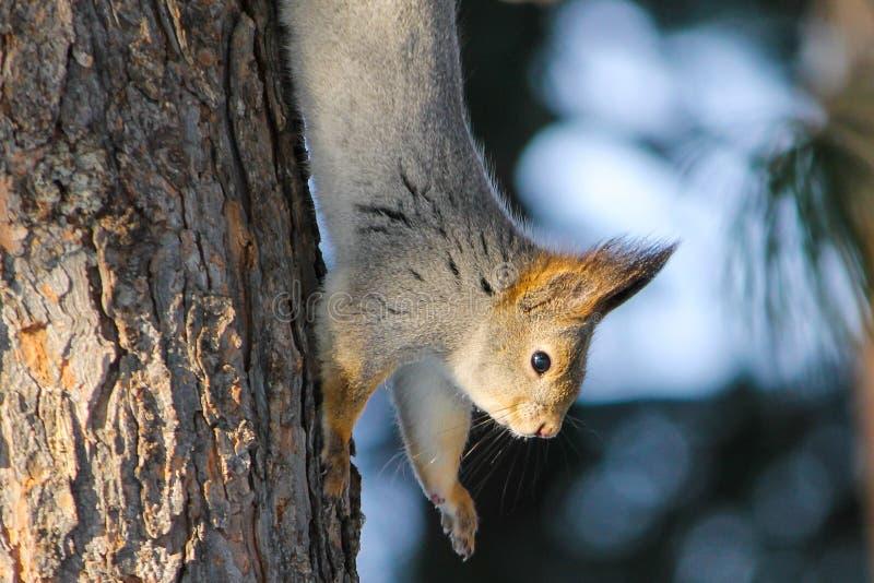 Wiewiórka w parku zdjęcie royalty free