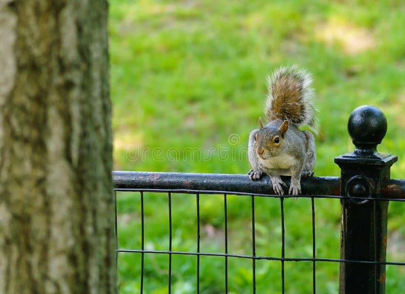 Wiewiórka wokoło skakać fotografia stock