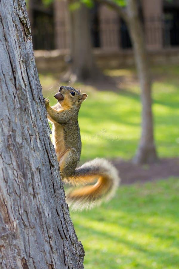 wiewiórka z merdanie ogonem obrazy stock