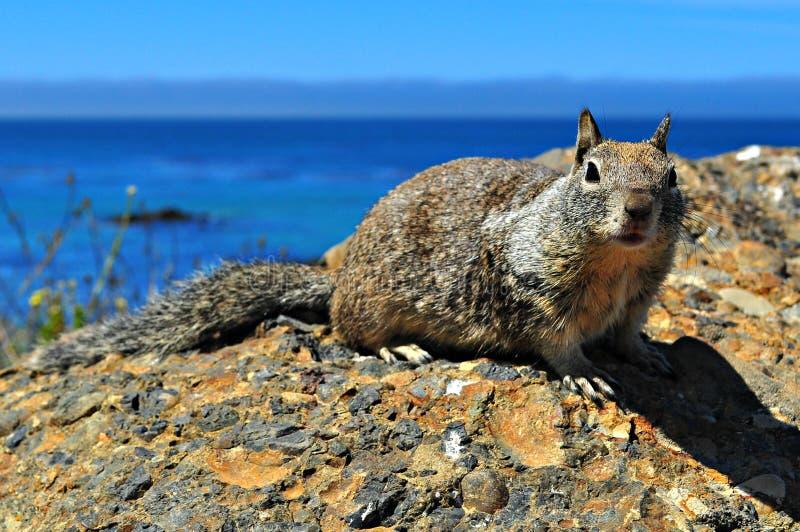 Wiewiórka z widokiem obraz royalty free