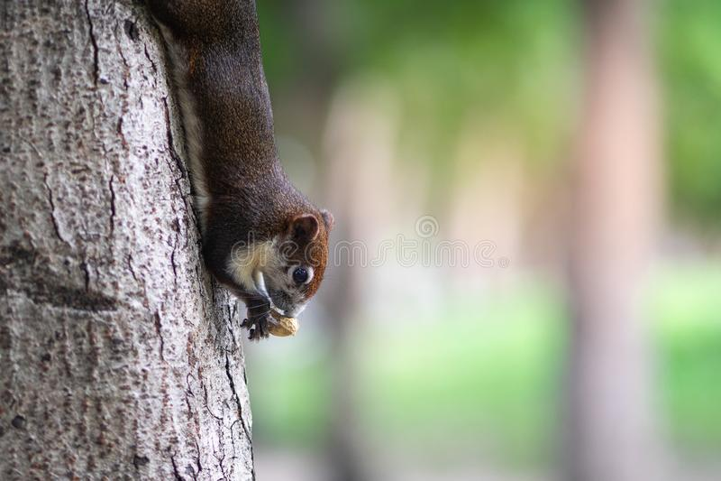 Wiewiórki łasowania dokrętki na drzewnym bagażniku zdjęcia royalty free