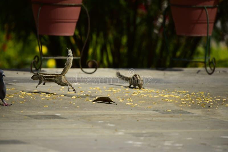 wiewiórki zdjęcie stock