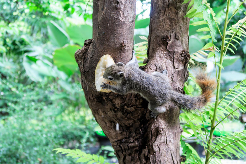wiewiórki drzewne zdjęcie stock