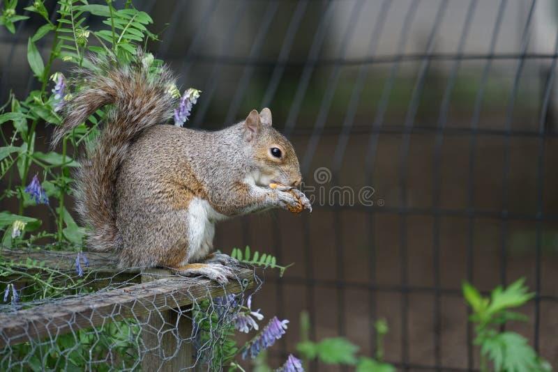 Wiewiórki je acorns zdjęcie stock