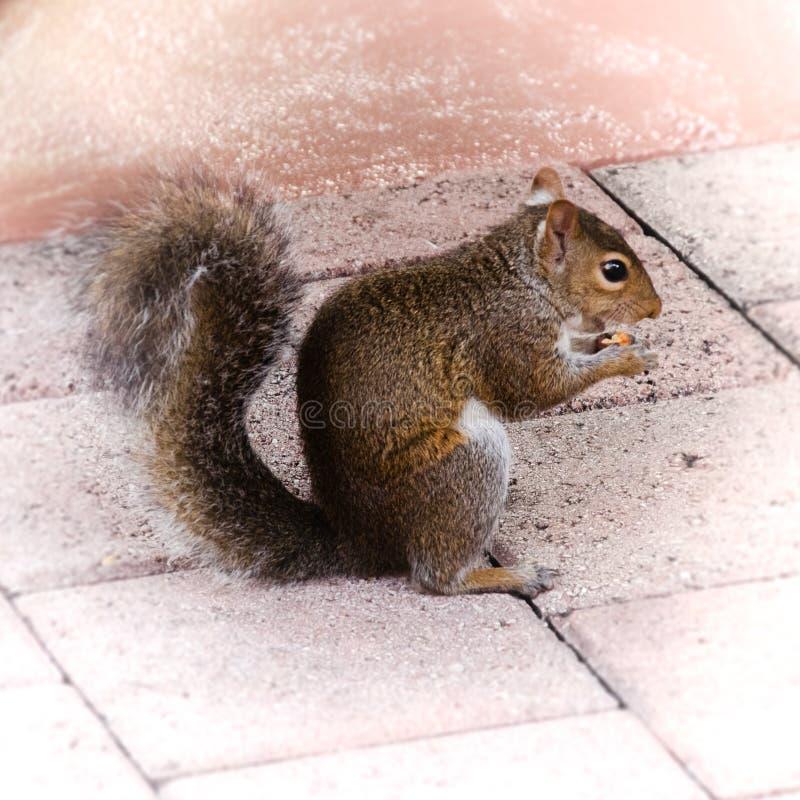 wiewiórki jedzą orzecha zdjęcia royalty free