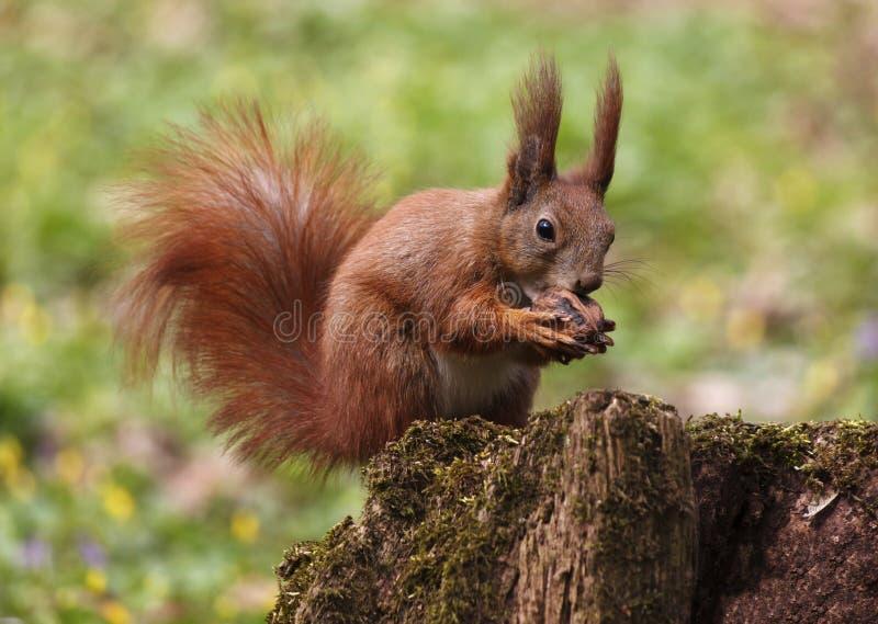 wiewiórki jedzą orzecha zdjęcia stock
