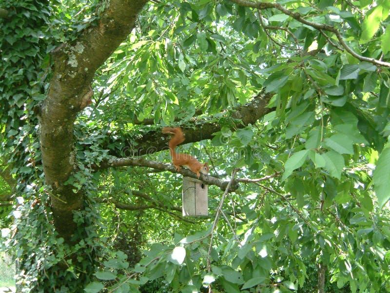 Wiewi?rka na orzecha w?oskiego drzewie zdjęcie royalty free