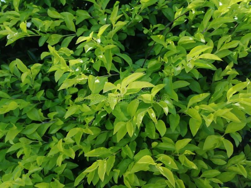 ?wiezi ziele? li?cie dla t?a fotografia royalty free