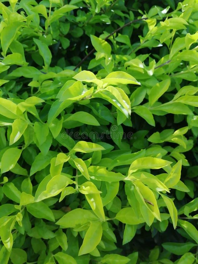 ?wiezi ziele? li?cie dla t?a obraz stock