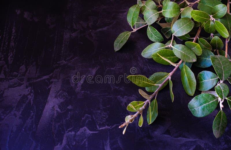 ?wiezi zieleni li?cie feijoa drzewo fotografia stock
