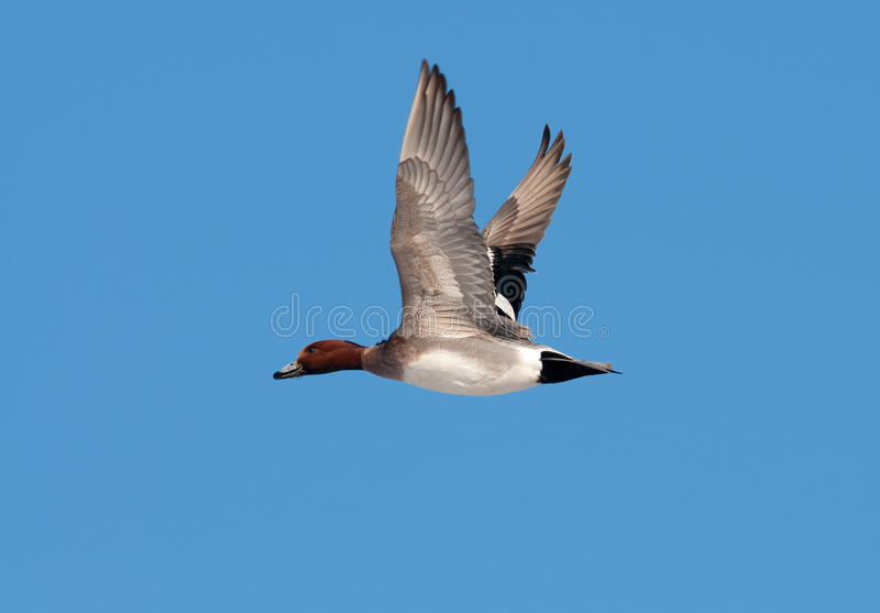 Download Wigeon stock photo. Image of peaceful, wing, feathers - 12766518