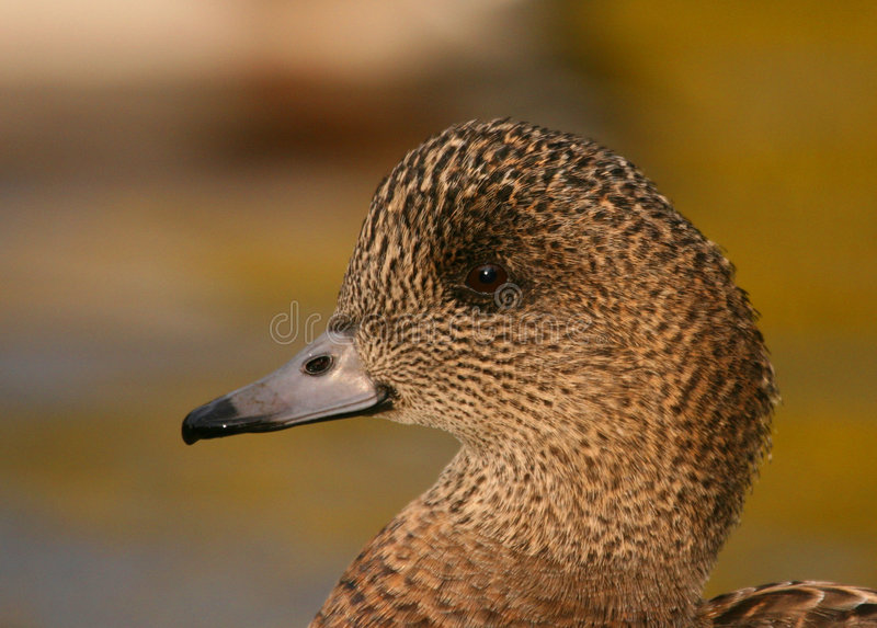 Download Wigeon Stock Photos - Image: 4537463